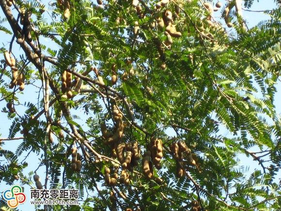 酸角树2.jpg